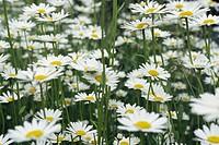 Blomsteräng Med Prästkragar, Daisy Flowers In Field