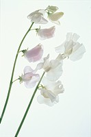 Two White Sweet Peas
