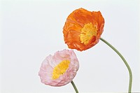 Two Poppies (thumbnail)