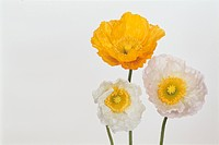 Three Poppies (thumbnail)