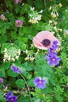 Vallmo, Kaprifol, Rosor Och Nävor I Full Blom I Grönskande Trädgård, Close_Up Of Flowers