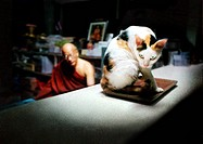Arg Katt På Receptionsdisk Till Buddhistkloster I Thailand, Close_Up Of Angry Cat, Monk In Background