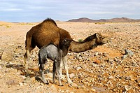 Dromedary and calf beside water pool. Sahara desert, Morocco