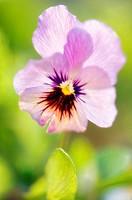 Disheveled Pansy Flower. Viola x wittrockiana.