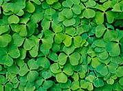 Grön harsyra, närbild. Close_Up Of Green Leaves, Wood Sorrel