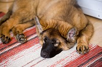 Close_Up Of German Shepherd Dog Sleeping On Carpet In Home