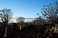 Quivertree forest Keetmanshoop Namibia Aloe dichotoma