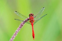 Male of a dragonfly Sympetrum sanguineum)