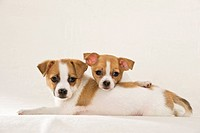 two half breed dog puppies _ lying _ cut out restrictions: animal guidebooks, calendars