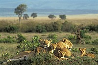 Lionesses Panthera leo with cubs lying in the gras Masai Mara Natinal Reserve, Kenya