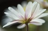 Spring Anemone blanda anemone bloom