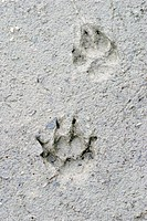 Track of a fox (vulpes vulpes) above, and a raccoon dog (Nyctereutes procynoides) below