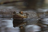 Toad (bufo bufo) get into water for marrying
