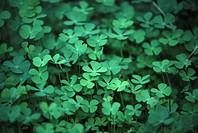 Four leafed clover
