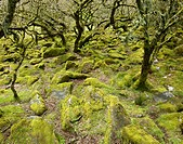 Whistmans Wood near Two Bridges Dartmoor National Park Devon England