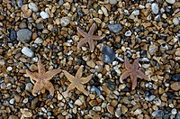 Starfish Brighton West Sussex England