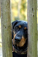 Brandel Bracke hunting-dog hound looking through wooden fence garden