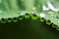 Dew drops on lady's mantle leave ( Alchemilla mollis )