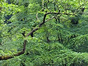 Oak and beech trees. Oak trees Quercus sp. and beech trees Fagus sp. on the banks of the River Teign in Dartmoor, UK. The branches are spreading out a...
