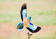 European roller Coracias garrulus landing on a branch. This migrant bird is the only roller bird family member to breed in Europe, and is also found i...