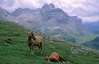 Two horses on a pasture Fanes area Dolomites Italy