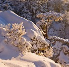 Snow covered pine on a rock on the Peilstein hill Lower Austria