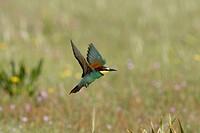 European Bee-eater (Merops apiaster). Sevilla province, Andalucia, Spain