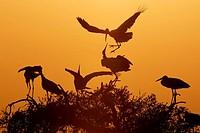 White Stork (Ciconia ciconia). Sevilla province, Andalucia, Spain