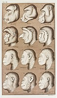 Twelve catarrhines. Historical artwork of twelve apes and Old World monkeys, from the 1870 edition of Ernst Haeckel´s The Natural History of Creation....