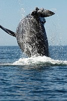 Humpback whale Megaptera novaeangliae leaping out of the water breaching. Photographed in the Gulf of California.