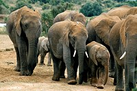 African bush elephants Loxodonta africana. These elephants are the world´s largest land animal, weighing up to 10,000 kilograms and measuring 3.5 metr...