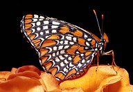 Baltimore butterfly. Baltimore butterfly Euphydryas pheaton on an orange flower. This rare butterfly is native to the swamps of North America. It will...