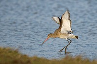 Bar-tailed Godwit Limosa lapponica Cley Norfolk Winter