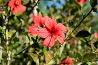 Hibiscus, Adelaide, South Australia