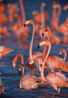 CARIBBEAN or ROSY FLAMINGO group. Phoenicopterus ruber ruber. Celestun Biological Reserve. Yucatan. Mexico