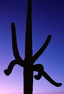 SAGUARO CACTUS at twilight. Cereus sp. Saguaro National Monument. Arizona. USA