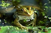 Water frog Rana esculenta