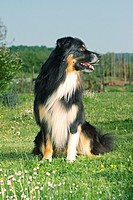 australian sheperd _ sitting on meadow