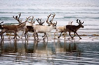 Reindeer (Rangifer tarandus) herd, Norway North coast
