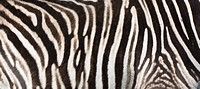 Close up of Zebra Equus quagga stripes