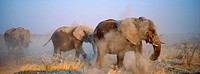 Elephant herd having a dustbath in the late afternoon, during the dry season. Etosha National Park, Namibia, Africa