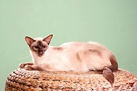 Balinese cat _ lying