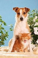animal friendship: Jack Russell Terrier and Maine Coon kitten
