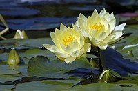 Water Lily 'Joey Tomocik' (Nymphaea spec.)