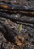 REGENERATION after Norwegian forest fire. wood horsetail Equisetum sylvaticum