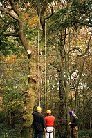 Woodland safety being taught by tree surgeon. Betts Wood, Essex