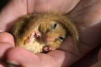 Dormouse Muscardinus avellanarius in hand of licensed handler. Cornwall