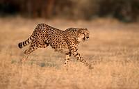Cheetah, Namibia / (Acinonyx jubatus)