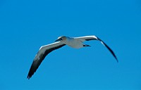 Cape Gannet, Western Cape, South Africa / (Sula capensis, Morus capensis)