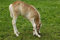 11 days old Haflinger foal at grazing